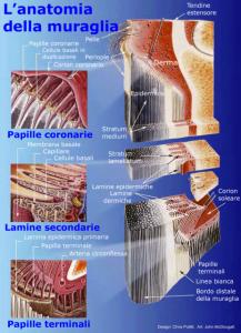 Anatomia muraglia