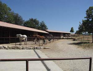 Study horses in Tuscany